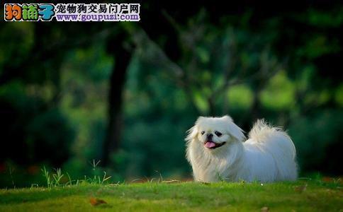 苏州出售纯种可爱的京巴幼犬健康保证品质一流