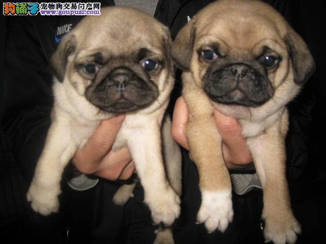 实体狗场—专业繁殖精品巴哥犬—来场可看狗父母。