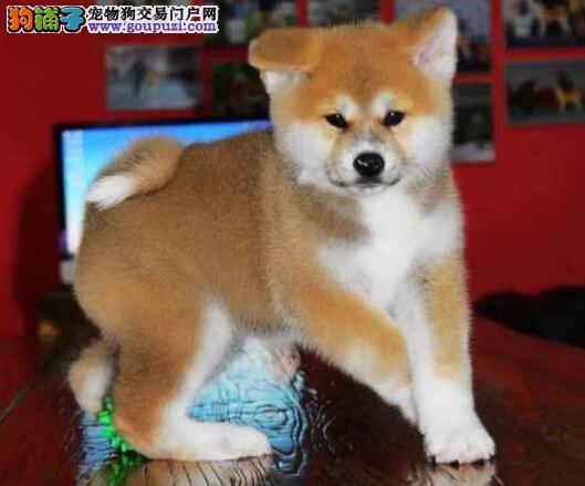 日本引进带肚种母所生幼犬,带秋保证书 喜欢联系!