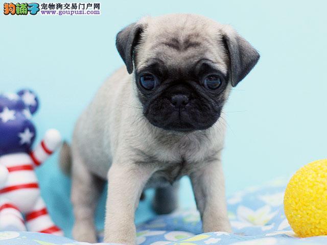 苏州纯种巴哥幼犬多只出售 南京巴哥宠物狗公母都有的