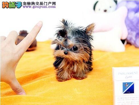 专业繁育韩国纯茶杯约克夏犬 证书芯片齐全 疫苗已做齐
