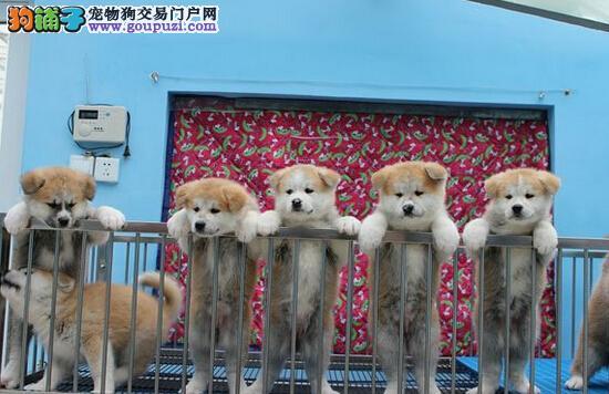 北京人家 纯种日系秋田 自家繁育 疫苗已做 可见父母