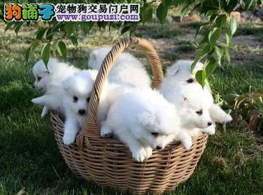 北京繁殖基地纯血统日系银狐三针齐公母全签质保可刷卡