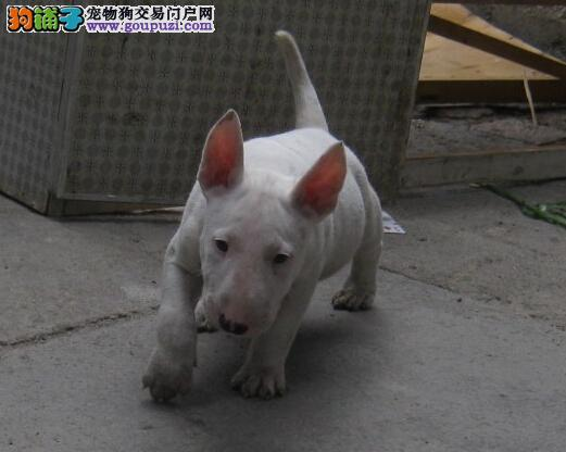 专业繁殖牛头梗幼犬出售 高品质 纯血统 保健康