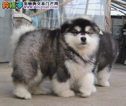 熊猫版阿拉斯加 巨型阿拉 北京专业阿拉斯加犬舍!