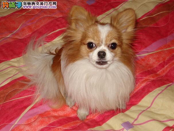 特价出售蝴蝶犬 蝴蝶犬买卖 蝴蝶犬照片 蝴蝶犬价格