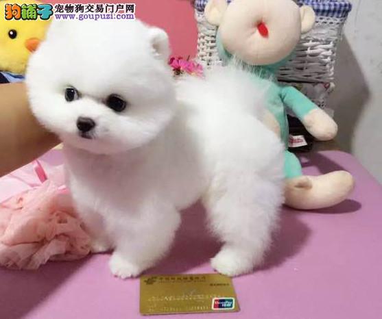 小俊介超小体 正规犬舍繁殖 保证健康 签协议!