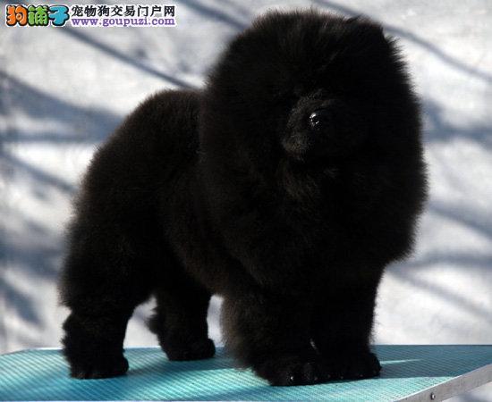 顶级松狮幼犬 打造狗铺子第一品牌 品质美 口碑好!