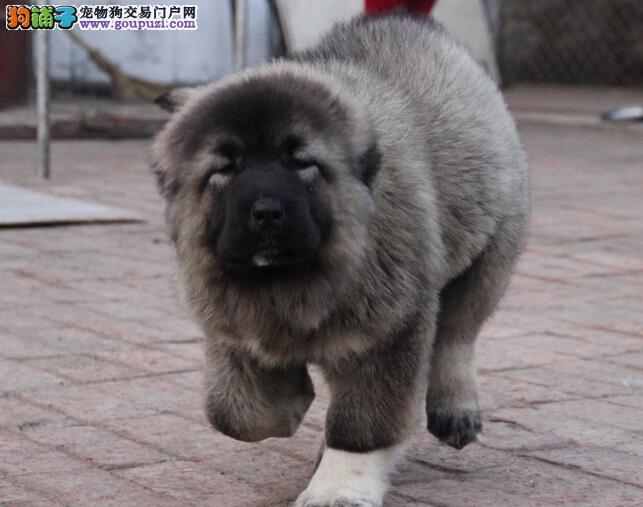 """伊拉""""+达尼的小狗 带出生证明 体重35 肩高48 签协议"""