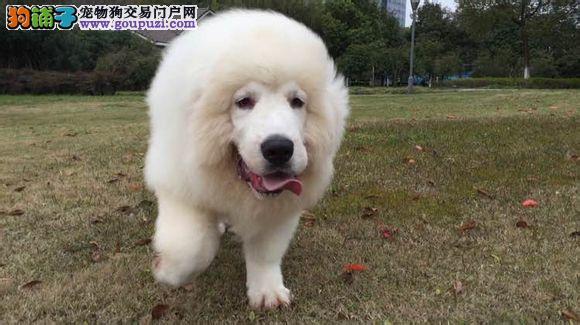 买大白熊犬、纯种健康、特价优惠,买狗送狗证 签协议