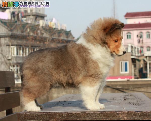 本犬舍直销高品质苏格兰牧羊犬宝宝,质量保障.