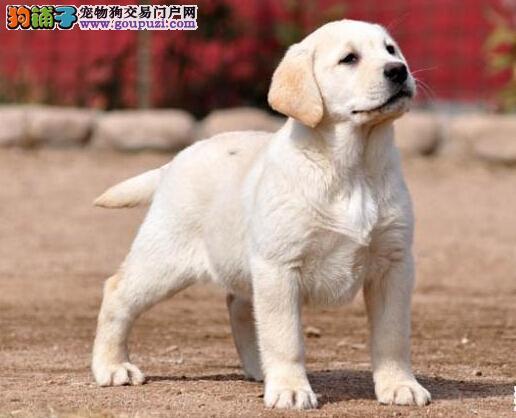 高品质拉布拉多犬小七兄弟犬顶级血统冠军后代!