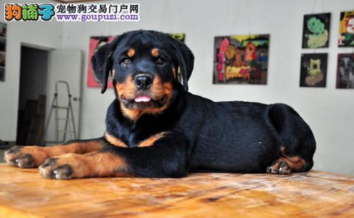 国际注册犬舍 出售极品赛级罗威纳幼犬微信咨询视频看狗