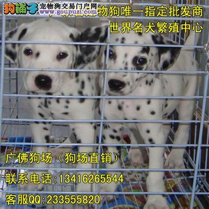 斑点狗专卖 德国引进赛级双血统斑点狗 2 4月龄小斑点