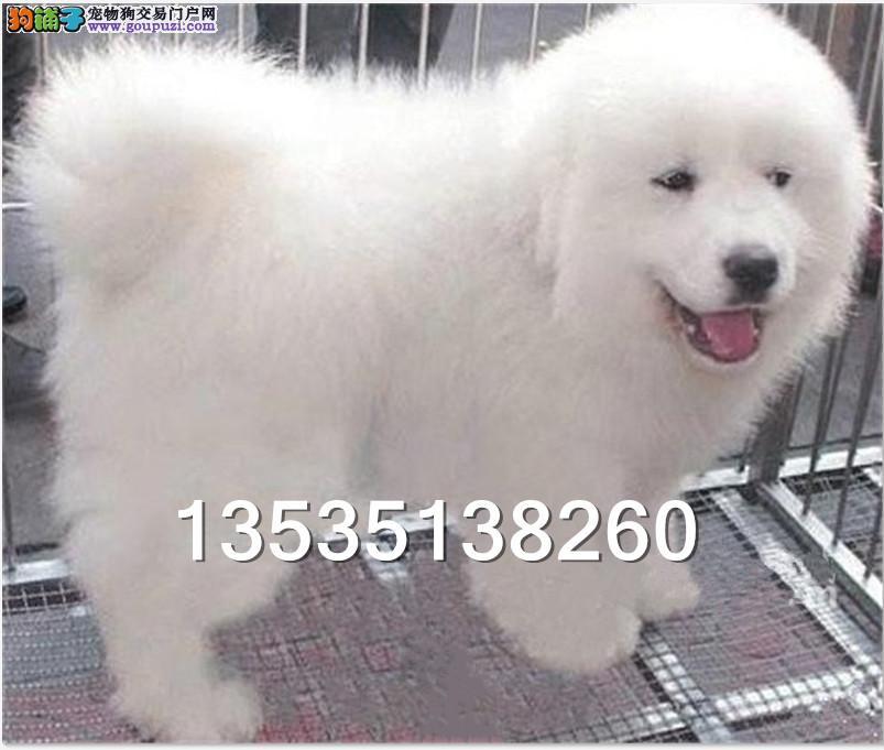 广东大型养狗基地 顶级大白熊血统纯正