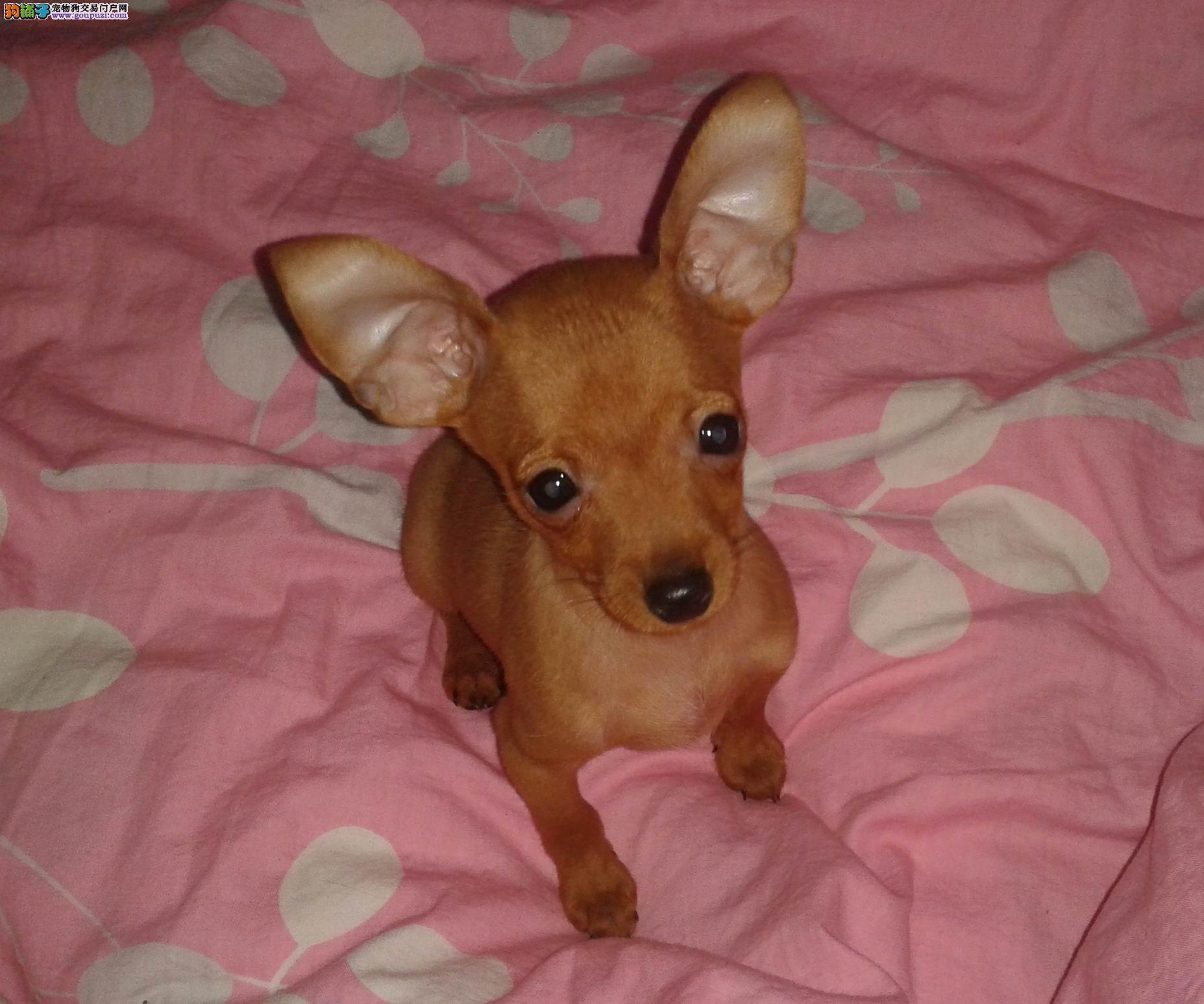 购买签协议出售小鹿犬包健康纯种 送狗狗用品
