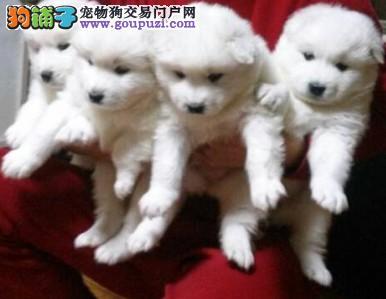 出售 家养萨摩耶 幼犬