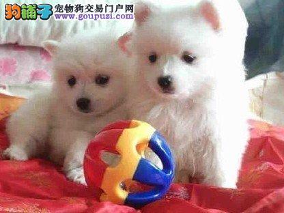 犬舍直销日本尖嘴银狐宝宝 质量保障