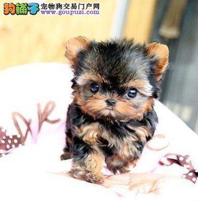 出售3个月的超小型的约克夏宝宝