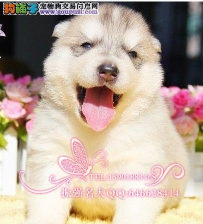 纯种赛级三火蓝眼哈士奇幼犬 ,签订健康保障协议