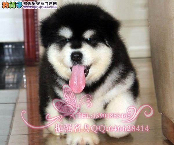 振强犬舍直销巨型纯种阿拉斯加幼犬 签订活体保障协议