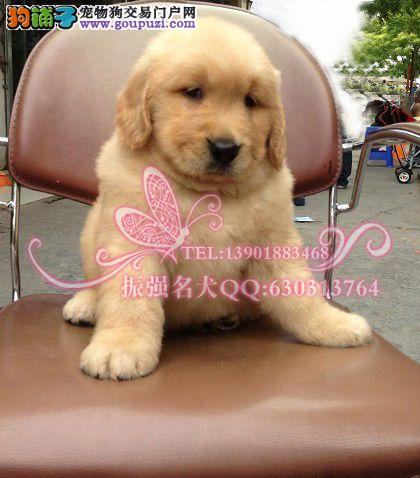 上海嘉定哪里有赛级大头金毛幼犬健康保障签订协议