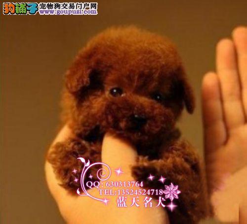 蓝天名犬出售赛级玩具红泰迪幼犬细小犬瘟包退换