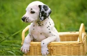 顶级大麦町幼犬 出售 喜欢的朋友联系我