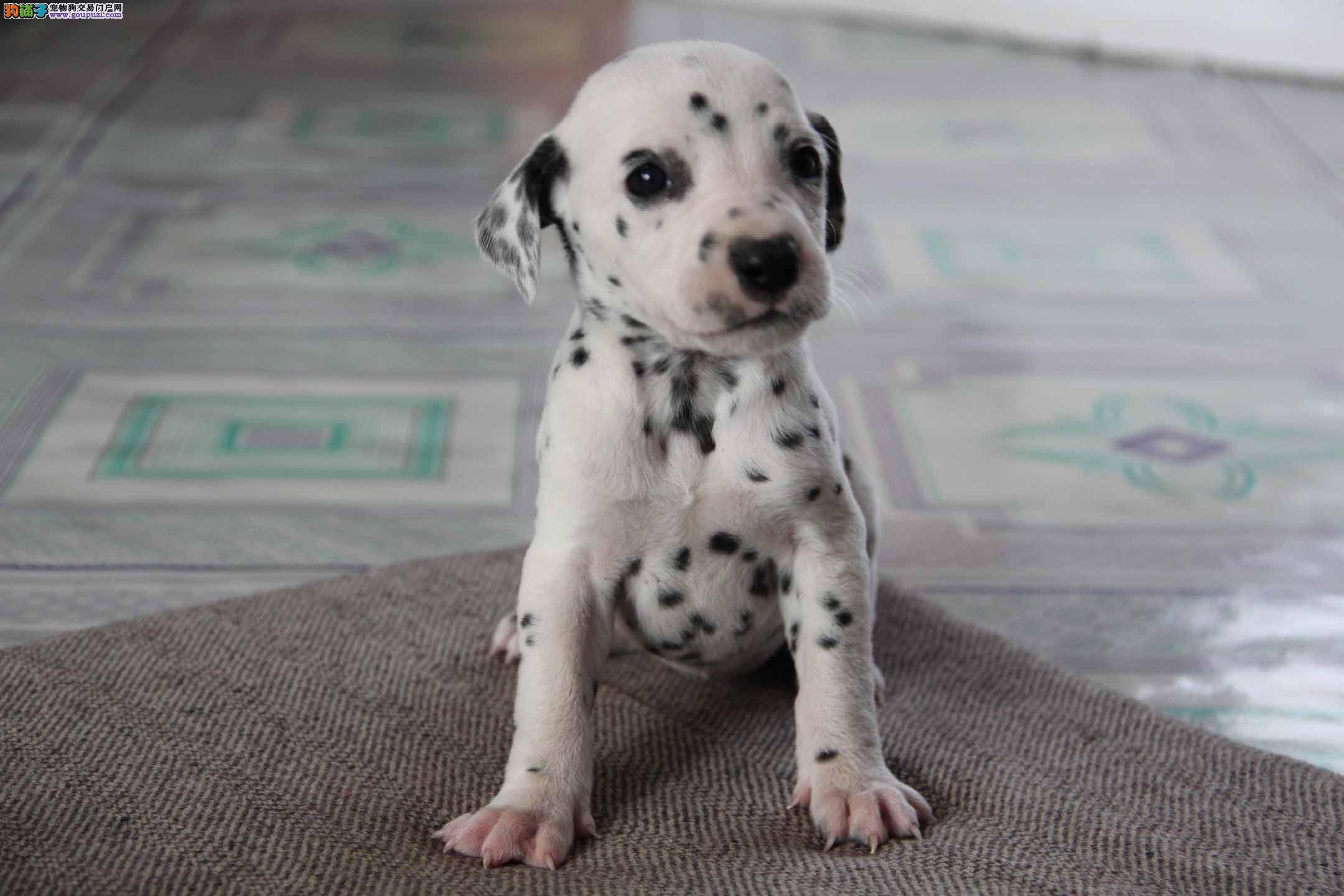 南京出售纯种斑点狗幼犬 健康保证 信誉保证
