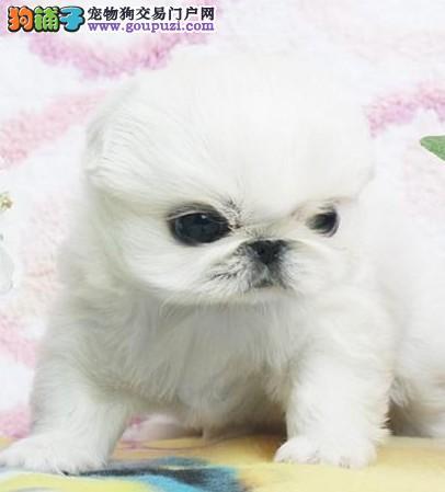 苏州哪里有卖纯种京巴宠物狗狗 苏州哪里的狗狗好