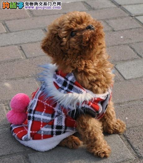 贵宾犬 冬季/贵宾犬冬季美容的方法: