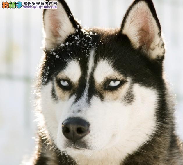 """教会小狗定点大小便---每只小狗都有自己的特征体味,它是其一生中许多活动的引导剂,这种引导剂主要通过其排泄的大小便在一些小狗认为必要的地方标记下来,而所有这一切都是小狗先天具备的。人们发现小狗特别讲卫生,不到万不得已,不会在自己的住所及其周围大小便。但是,在其他地方,只要被他留过一次""""痕迹"""",即使你擦得再干净,他还是会经常光顾,用他的鼻子""""检查一番"""",趁你不注意,再来一次,然后闻一闻,扬长而去。 有时,一些地方尿得让你很恼火,比如地板、地毯、床沿、大衣橱下面,屡次之"""