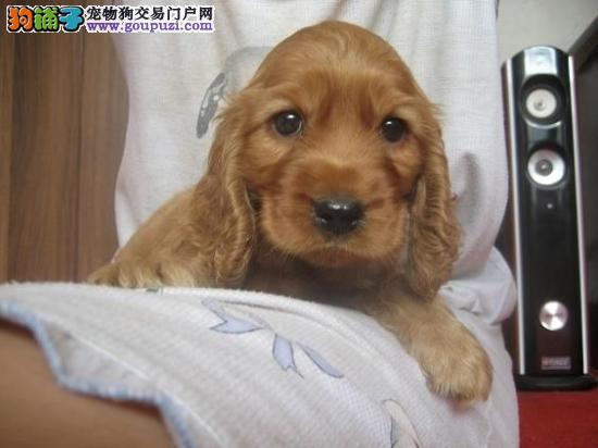 哪里有纯种可卡犬 可爱大耳朵可卡什么价位 齐疫苗