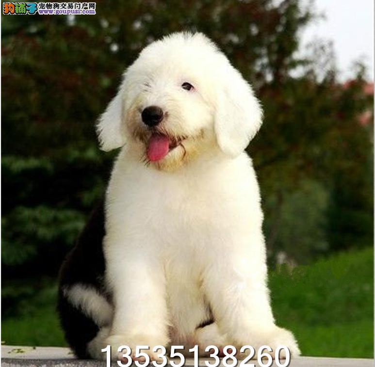 广东大型养狗基地 顶级古牧犬 半年包换