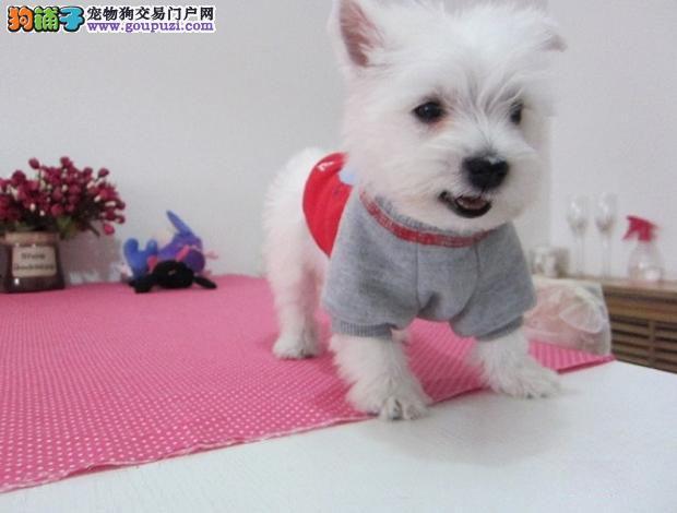 可爱西高地幼犬 基地繁殖 质量保证0011