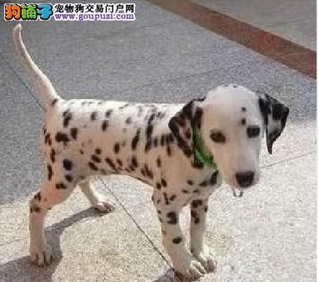 斑点狗幼犬专业繁殖,欢迎联系选购,包犬瘟细小送礼品