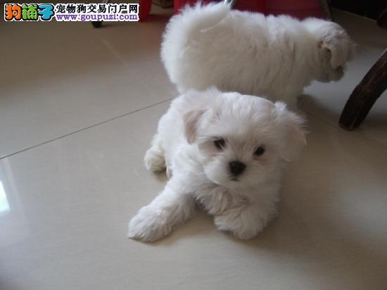 马尔济斯幼犬纯色,纯种健康犬舍繁殖送狗狗用品