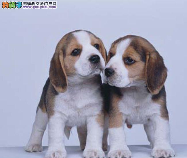 赛级品相上海比格犬幼犬低价出售欢迎实地挑选
