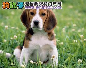 出售比格犬幼犬、纯正血统完善服务、三包终生协议