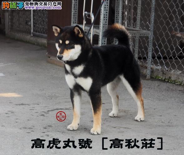 台湾.高秋庄.柴犬专业犬舍