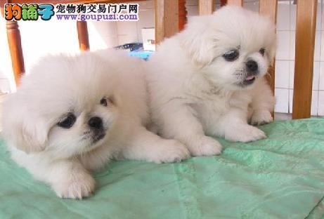 AC国际联保专业繁殖京巴幼犬免疫齐品质保证终身质保