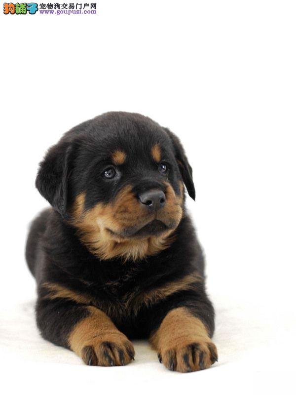 长沙哪里出售罗威纳犬 长沙挪威纳宝宝价格多少