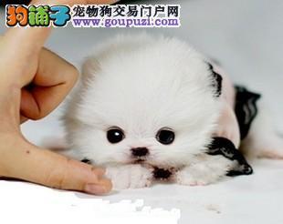 CKU认证犬舍 专业出售极品 茶杯犬幼犬均有三证保障
