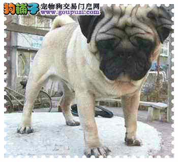 狗便宜 巴哥多少钱 深圳哪里有卖纯种巴哥
