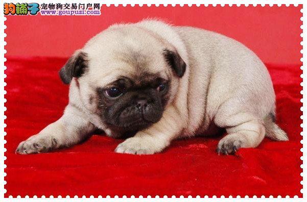 上海哪里有卖纯种巴哥幼犬 上海纯种巴哥多少钱