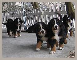 纯种伯恩山犬出售,疫苗驱虫都做齐,签署终身质保