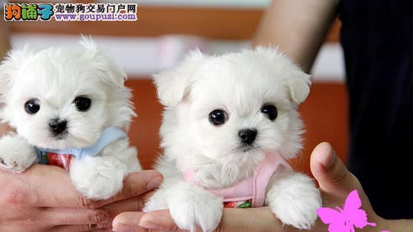 苏州哪里买到茶杯犬苏州纯种袖珍犬多少钱袖珍犬价格