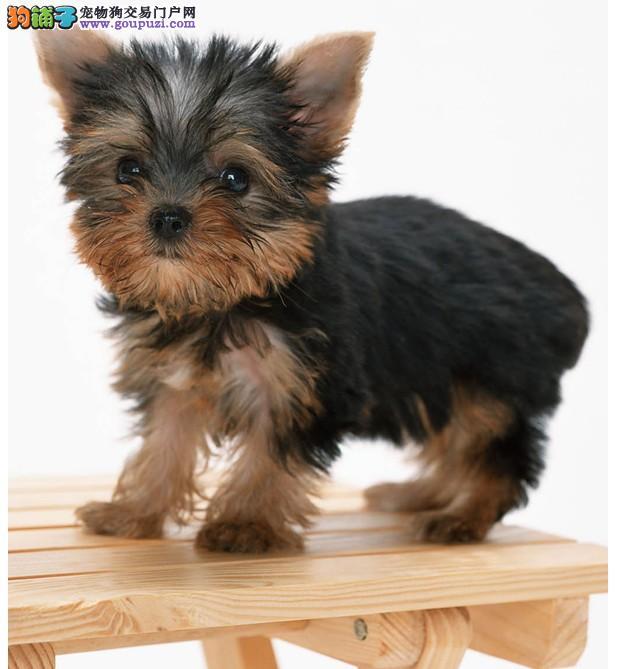 深圳哪里有纯种约克夏狗卖 深圳去哪里买约克夏狗