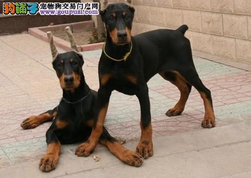 大型杜宾犬价格,杜宾犬出售