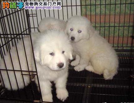 丽江买大白熊犬 玉江华坪买狗狗的地方 出售纯种大白熊